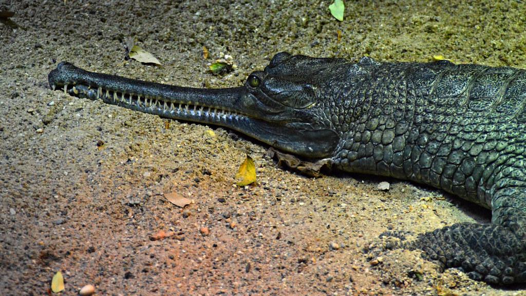 Alligatoren, Kaimane, Krokodile » BrasilienPortal