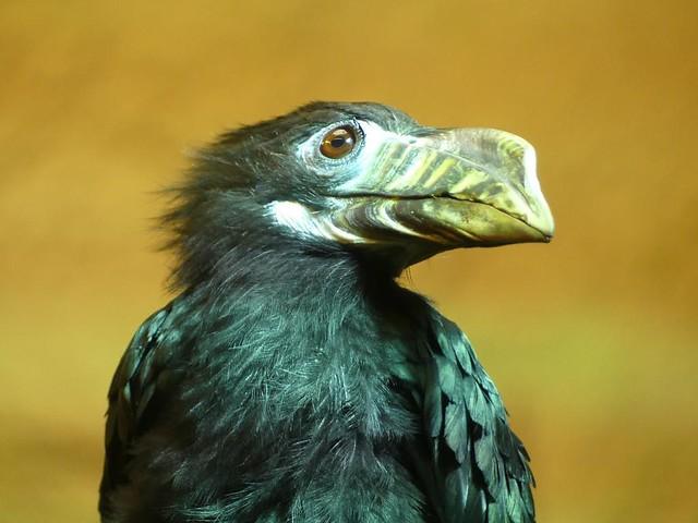 Visayas-Tariktikhornvogel, Zoo Dresden