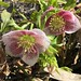 Lenten rose blooming in the sunshine this lovely spring day!