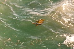 Poipu Shores sea turtle, our dinning companion  Hawaii 95-19-17A 8.3.95-Surfaced