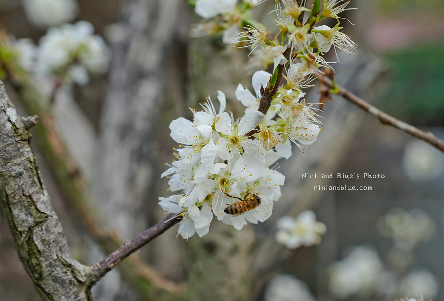 台中后里賞櫻花秘境17