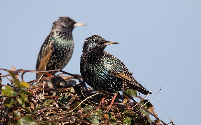 Starlings (Greylake)