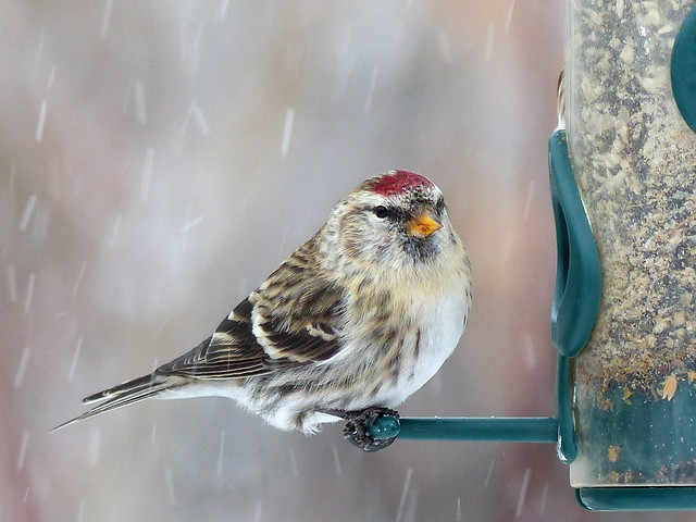 01 Common Redpoll in falling snow