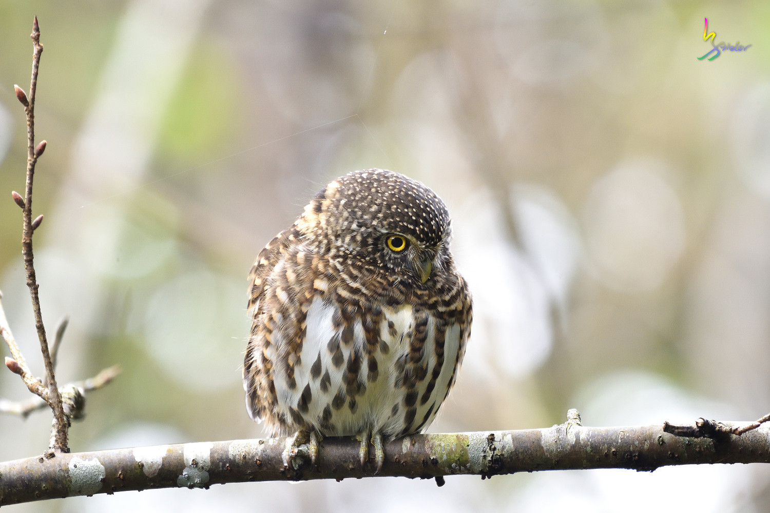 Collared_Owlet_7409