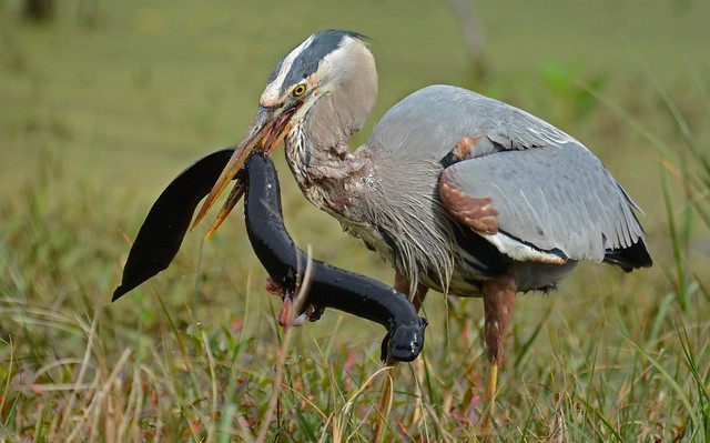 Great blue heron (Ardea herodias) with a greater siren, a large salamander