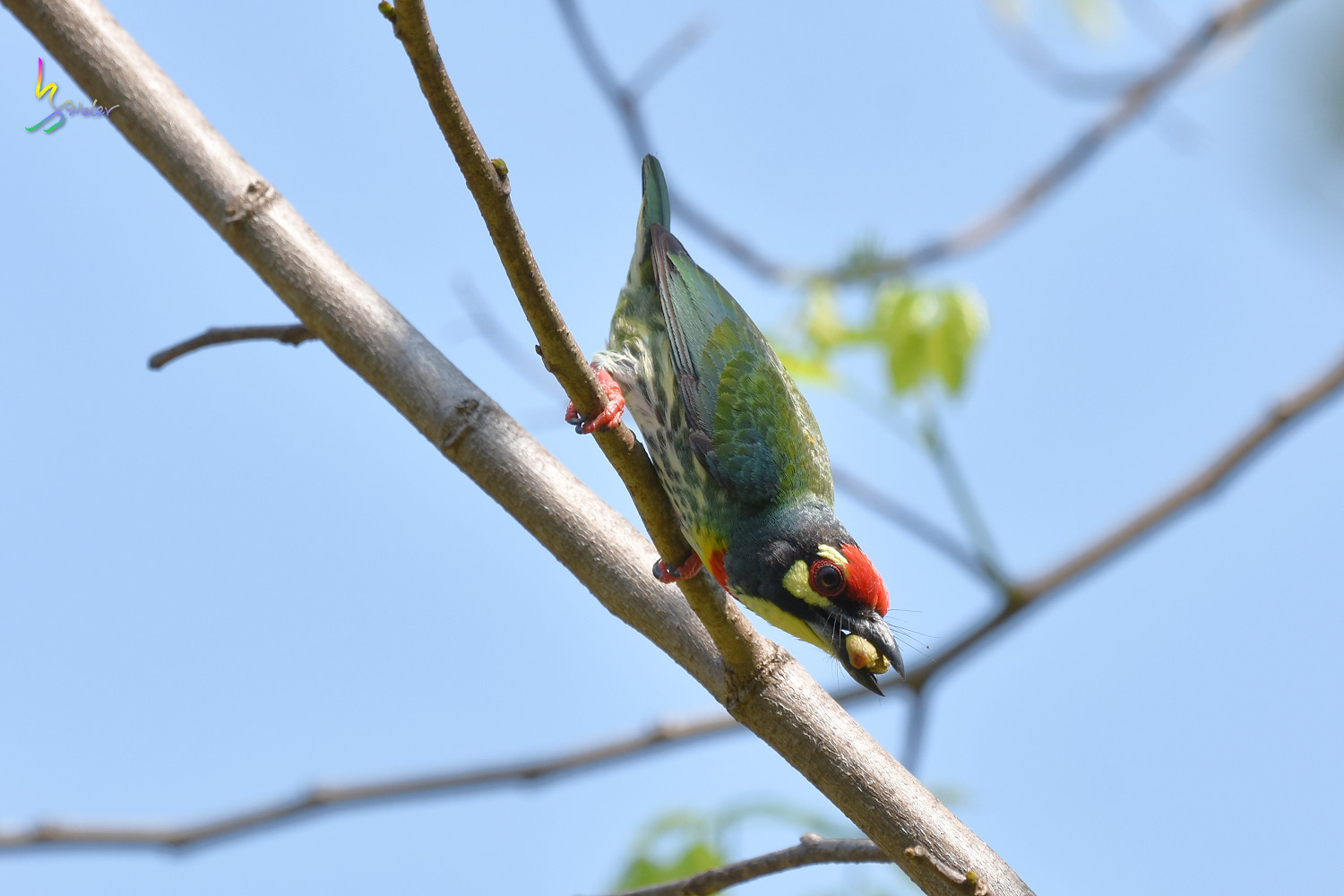 Coppersmith_Barbet_7544