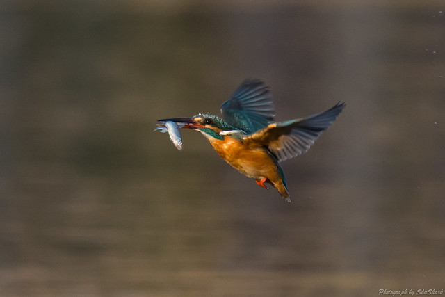 20180304-kingfisher-DSC_9633