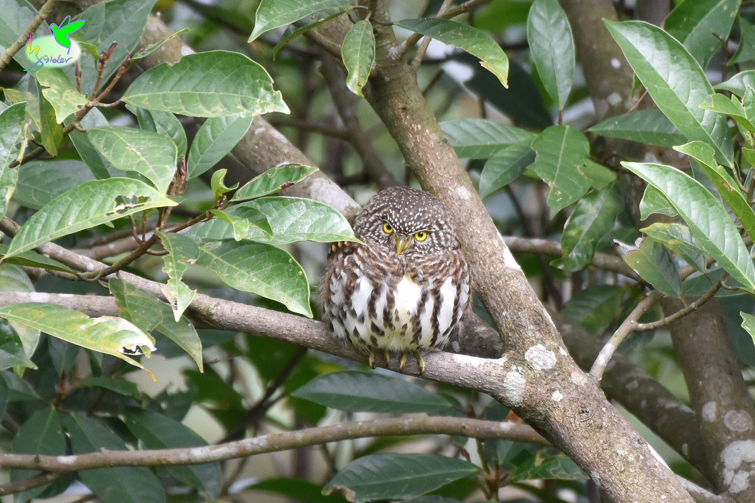 Collared_Owlet_9154