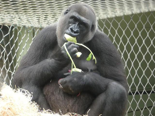 Gorilla Shira, Zoo Frankfurt