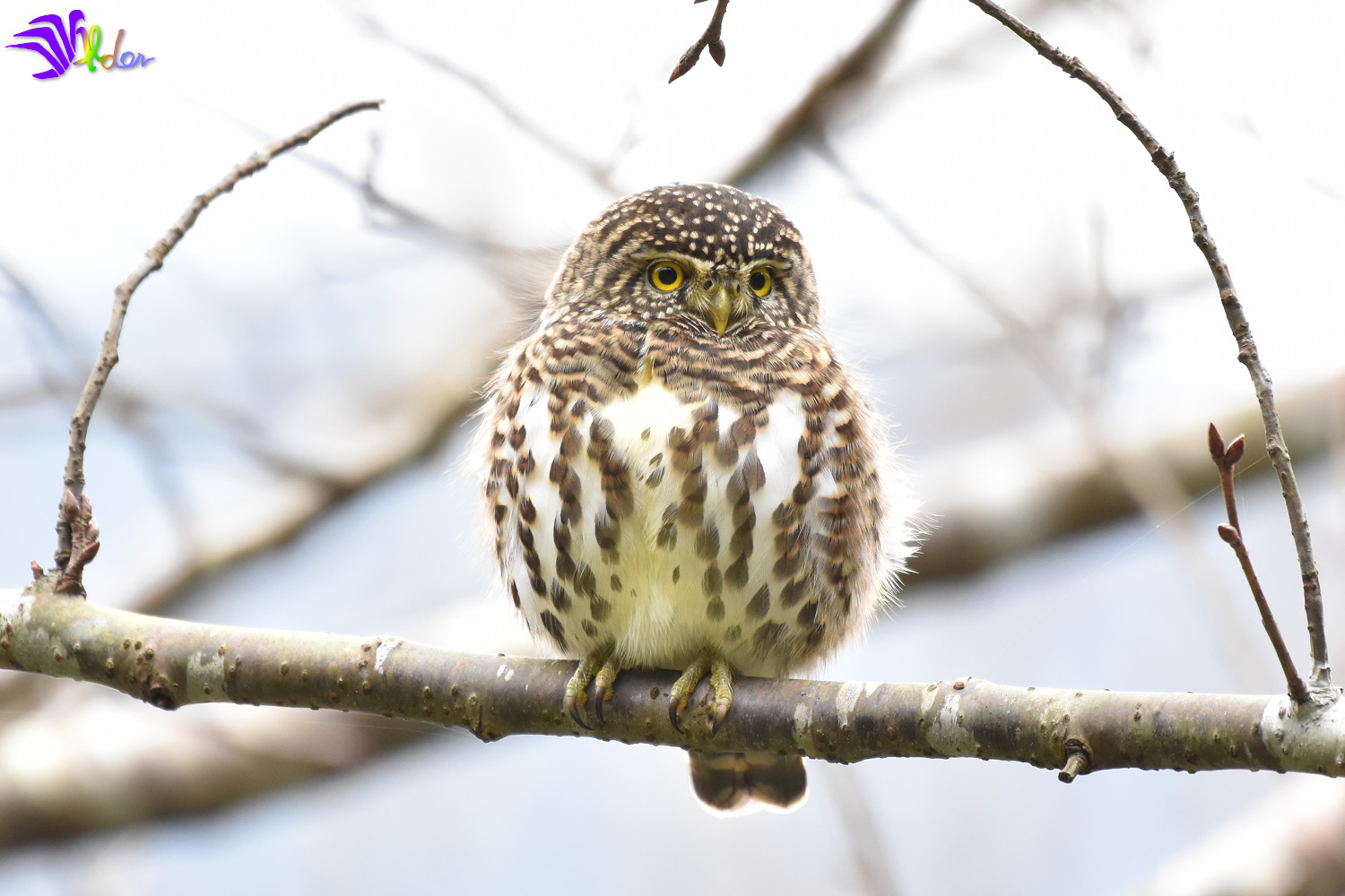 Collared_Owlet_5650