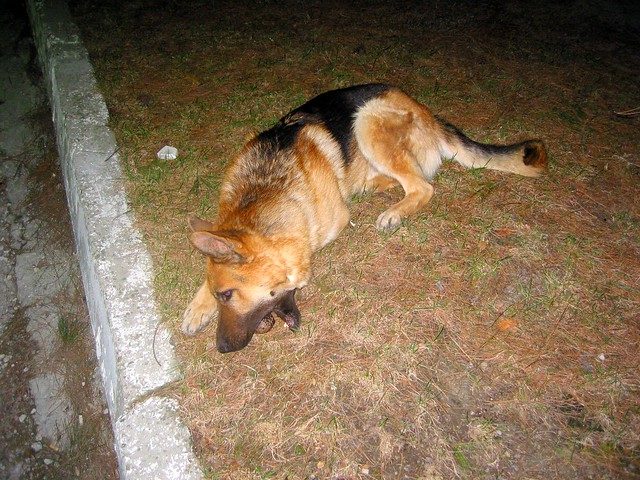 German Shepherd Dog, Canon POWERSHOT S40