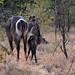Koudous Afrique du sud _4205