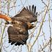Launch Angle - Hawk by Bernie Duhamel