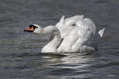 Mute Swan / Cygne tuberculé