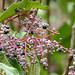 Small photo of Melastomataceae (Tococa guianensis)
