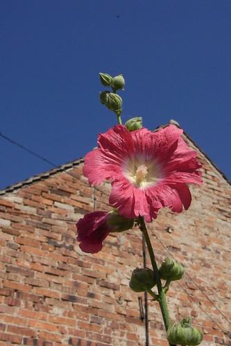 20100822 128 0102 Jakobus Stockrose rosa Blume_K