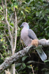 Ring Tailed Pigeon 2