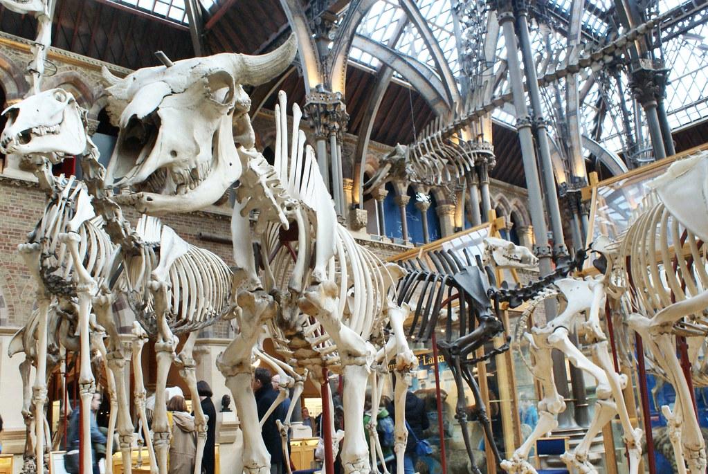Squelettes de grands mammifères terrestres avec un bison au premier plan. Musée d'histoire naturelle d'Oxford.