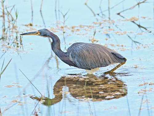 Tricolored Heron 04-20180219