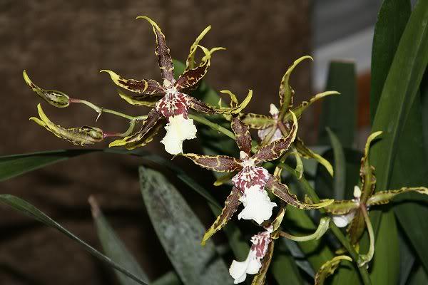 Les orchidées chez Sougriwa - Page 3 24948585837_bd8195a97b_z