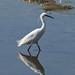 Little Egret striding along