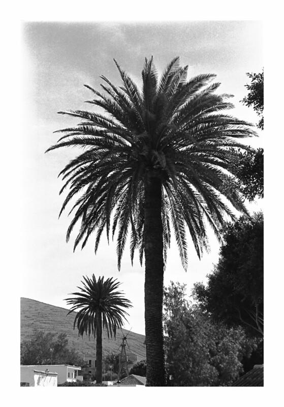 Palm Trees, Fuertventura