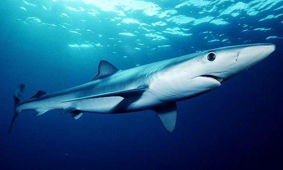 Khasiat Minyak Ikan Hati Ikan Hiu