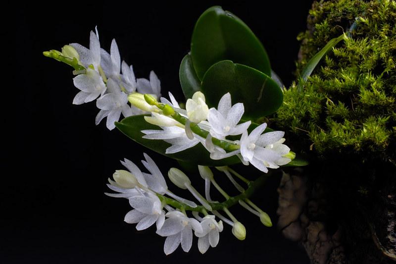 Miniatur-Orchideen Teil 4 - Seite 5 25813928018_2f85a32754_c