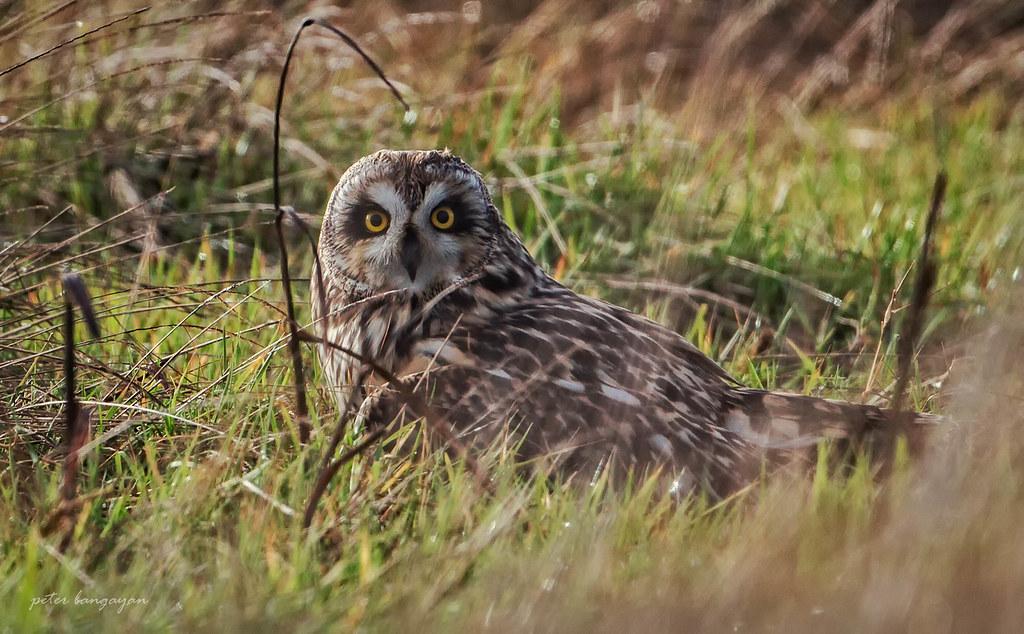 Short - eared Owl