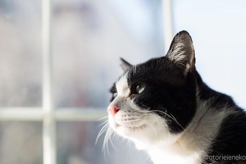 アトリエイエネコ Cat Photographer 26476654898_05b1b5ab67 「猫を斜め45度から撮影する」をやってみる 里親募集のための写真術  高槻ねこのおうち 里親様募集中 猫写真 猫 子猫 大阪 初心者 写真 保護猫カフェ 保護猫 スマホ カメラ Kitten Cute cat