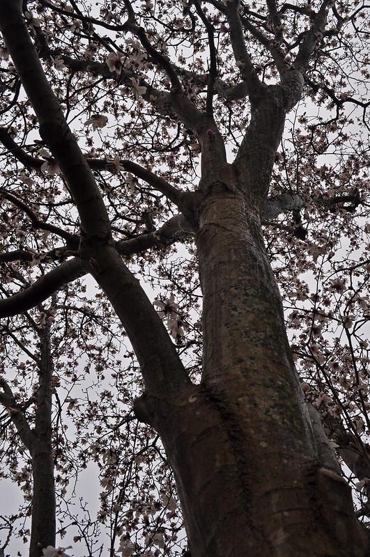 Magnolia × loebneri 'Leonard Messel'  (2)