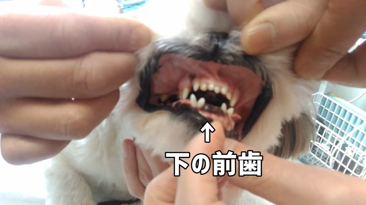犬歯が多くて下の前歯がないシーズー犬