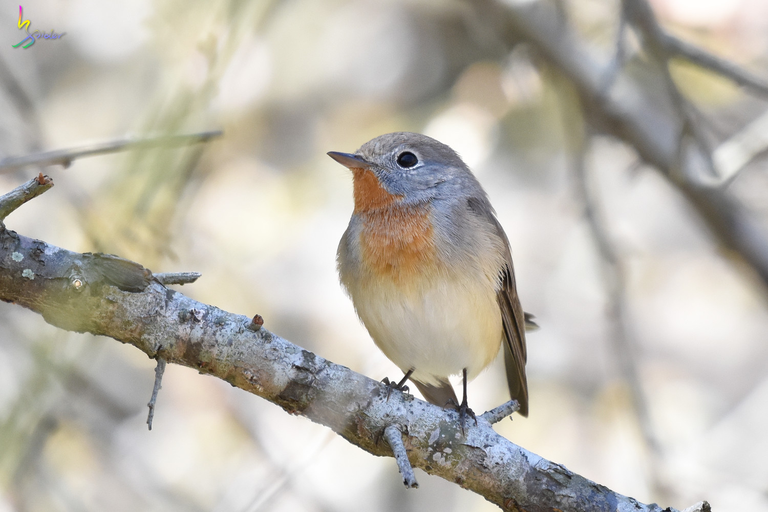 Red-breasted_Flycatcher_6272