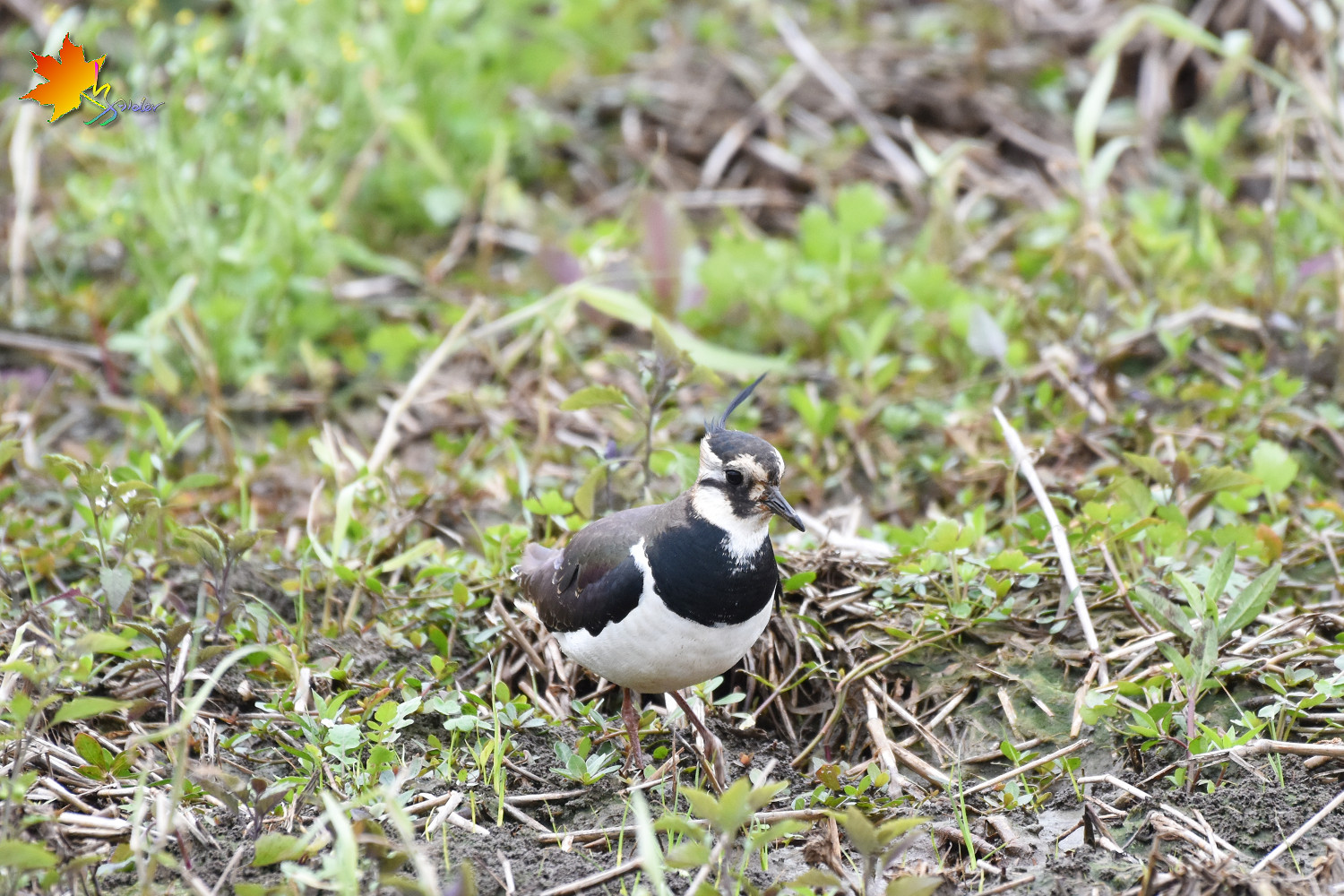 Northern_Lapwing_8451