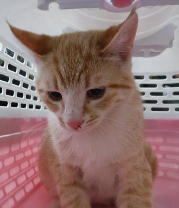Animal ID 37709057 Species Cat Breed Domestic Shorthair/Mi