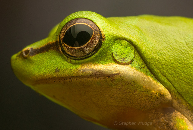 Face of a Sedgefrog