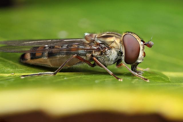 Hoverfly Episyrphus balteatus #5