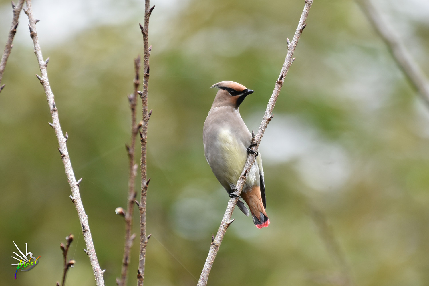 Japanese_Waxwing_7742