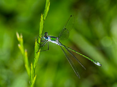 emerald damselfly or common spreadwing - Obvodna zverca 2
