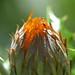 Anastraphia ilicifolia