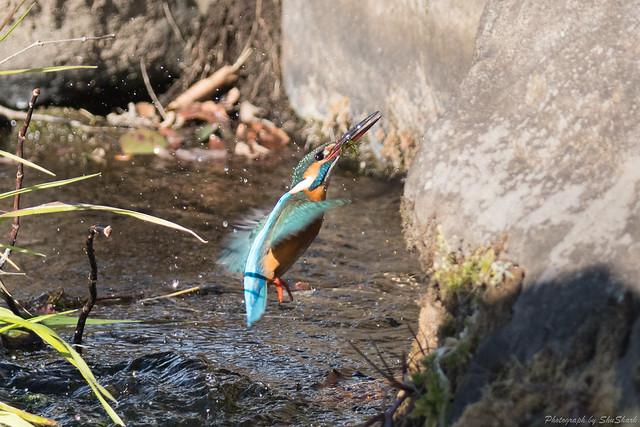 20180212-kingfisher-DSC_8824