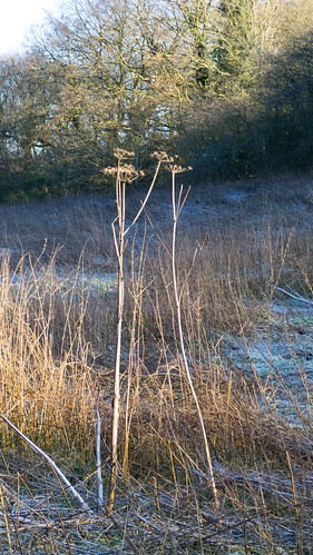Umbellifers, Compton Rough, frosty morning