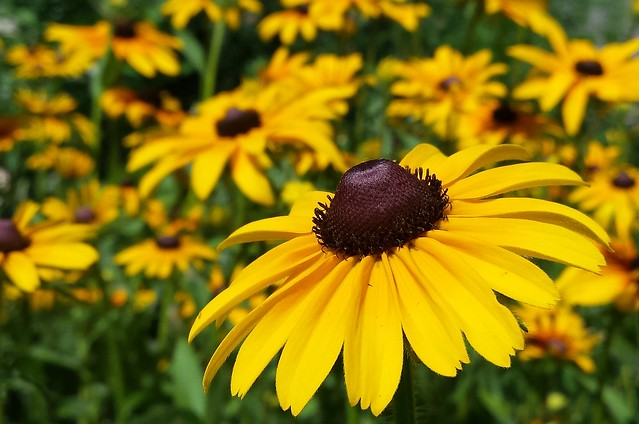 closeup of one black-eyed susan in the sunshine at the right, with dozens more faded in the background