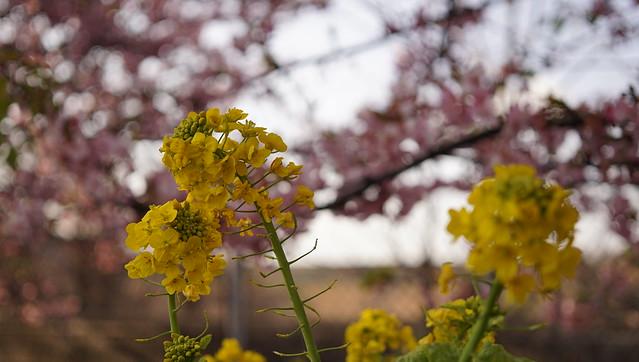 DSC07072三浦海岸桜まつり