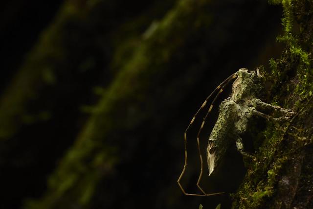 Lichen/moss camouflaged longhorn beetle