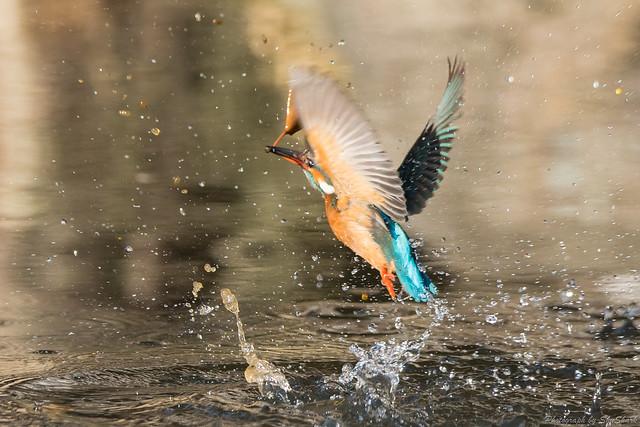 20180114-kingfisher-DSC_4485