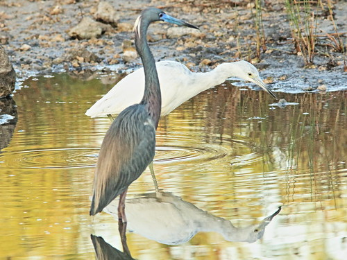 Tricolored and Little Blue Herons 01-20180306