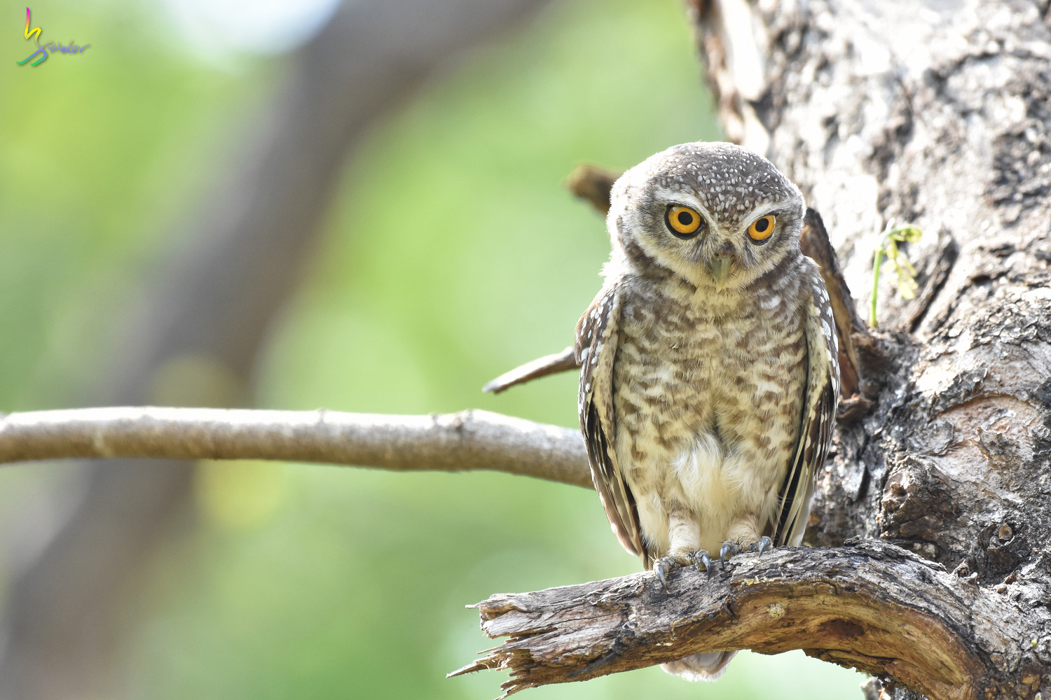 Spotted_Owlet_4742