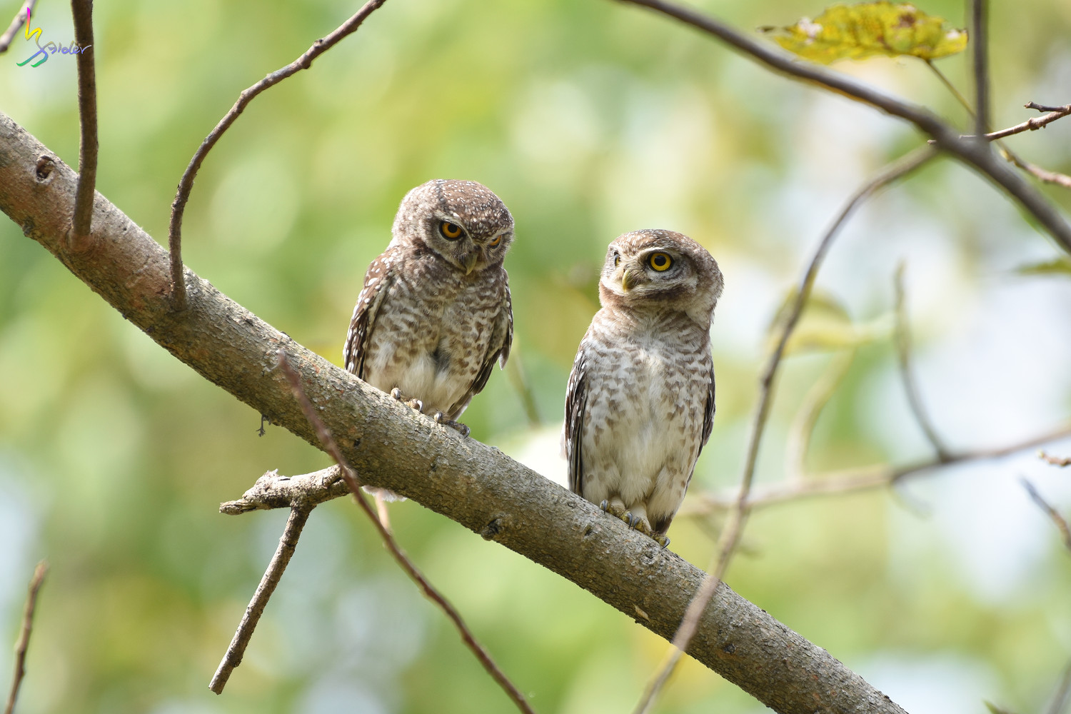 Spotted_Owlet_4524
