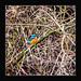 The Kingfisher PML